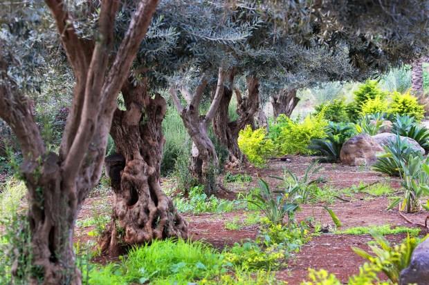Olive Trees--Israel--Steve Evans