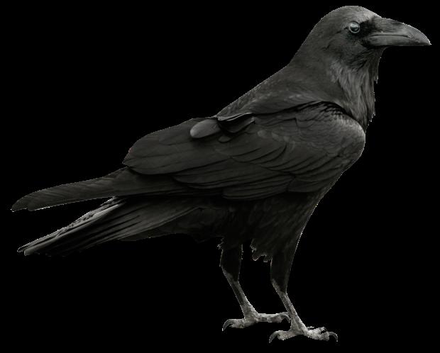 Raven-Free-PNG-Image